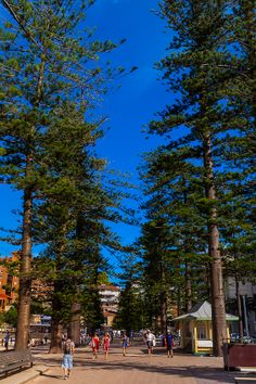 Massive Norfolk Pine trees line the beach at Manly - Sydney, NSW