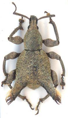 Apirocalus cornutus Pascoe (Curculionidae)
