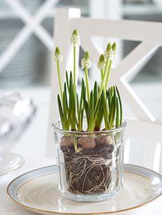 white grape hyacinths in French jam jar