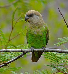 papagaio marrom-headed  ( Poicephalus cryptoxanthus)