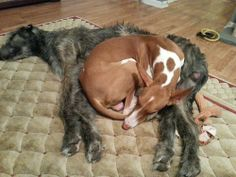 Irish Wolfhound and Ibizan Hound