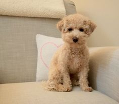 Poochon aka Bichon Poodle Puppy....I love this guy For
