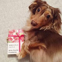モデル気取り✨ お菓子のCM狙ってるなの🐶💕 #ダックス #短足部 #ダックスフンド #チョコダップル #ダップル #ワンコなしでは生きて行けません会 #pecoいぬ部 #今日のダックスフンド #愛犬 #MDF48 #DPL48 #EARTH4才 #todayswanko #east_dog_japan  #dog #dog_features #dogstagram #instadog #dapple #ig_dogphoto #dogs_of_instagram #dachs #dachshund #dachshundoftheday #dachshundsofinstagram #pawsomedachshunds #doxie #dogsofinstaworld #sausagedog