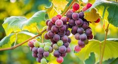 Grape Health Benefits, Red Wine Benefits, Grape Wallpaper, Fruit Picture, Fruits Images, Fruit Photography, Juicing For Health, Colorful Fruit, Plants