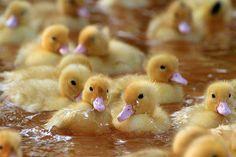 ducklings awwww