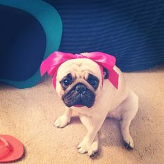 inurbanity: My dog probably hates me #pug
