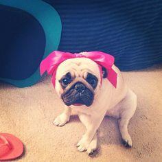 inurbanity: My dog probably hates me #pug
