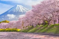 Find Japan Himeji Castle Light Sakura Cherry stock images in HD and millions of other royalty-free stock photos, illustrations and vectors in the Shutterstock collection. Thousands of new, high-quality pictures added every day. Cherry Blossom Japan, Cherry Blossom Season, Cherry Blossoms, Blossom Trees, Monte Fuji, Japan Spring, Himeji Castle, Photography Tours, Beauty Photography