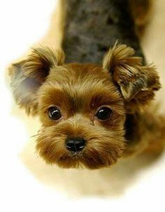 What a face! #yorkshireterrier