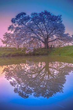 『夜明けのリフレクション』  夜明け前の浅井の一本桜   今年は撮って来ました (^_^)