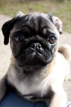 I love pugs!