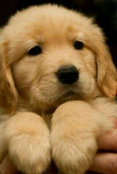 """Find out more relevant information on """"golden retriever puppies"""". Super Cute Puppies, Cute Baby Dogs, Cute Little Puppies, Super Cute Animals, Cute Dogs And Puppies, Cute Little Animals, Cute Funny Animals, Cute Cats, Doggies"""