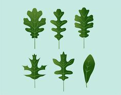 How to Identify Oak Leaves: 8 Steps - wikiHow