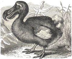 Dodo Bird - gone but not forgotten