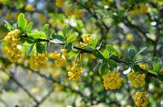 BLOG DE LA CIERVA ANTONIA: Arlo o Agracejo (Berberis vulgaris)