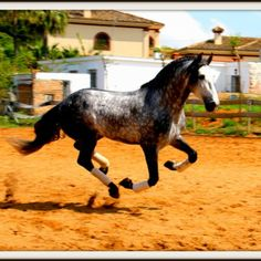 1023 PRE for Sale. 5 year old Stallion with a Miguel Bohorques Iron. For more information see our website.  Pictures taken by Ilva Elisa Meijer Llopis