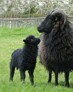 Horse Breeds and Goat Black Animals, Farm Animals, Animals And Pets, Cute Animals, Sheep Farm, Sheep And Lamb, Baby Sheep, Sheep Breeds, Horse Breeds