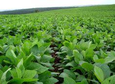 Resultado de imagen para soja en argentina