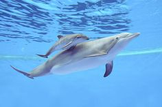 A Bottlenose Dolphin Dies At The Brookfield Zoo - Business Insider Happy Animals, Cute Baby Animals, Funny Animals, Cute Animal Memes, Cute Animal Videos, Common Bottlenose Dolphin, Dolphin Facts, Brookfield Zoo, Baby Dolphins