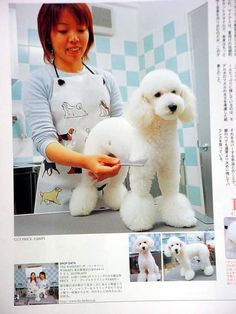 Awesome Toy Poodle For Sale Dog Grooming Styles, Poodle Grooming, Pet Grooming, Grooming Salon, Toy Poodles For Sale, Poodle Haircut Styles, Pet Shop, Asian Dogs, Poodle Cuts