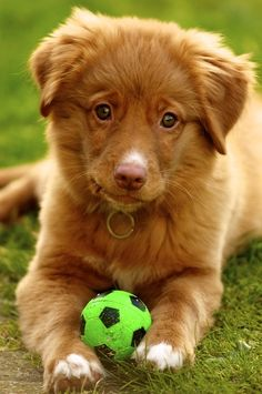 Nova Scotia Duck Tolling Retriever puppy at 3 months old Cute Baby Dogs, Cute Dogs And Puppies, Pet Dogs, Doggies, Cute Dogs Breeds, Dog Breeds, Like Animals, Animals And Pets, Toller Dog