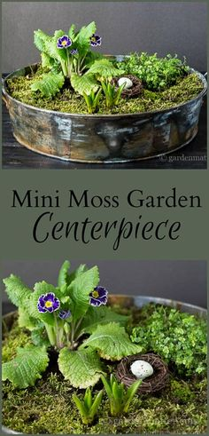 This simple mini moss garden makes a great centerpiece to bring in spring with green moss and pretty primroses.
