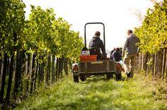 Grape Harvest @ our Viennese Vineyards! Vienna, Harvest, Vineyard, Destinations, Wine, Pictures, Food Recipes, Travel Destinations, Viajes