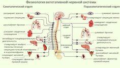Автономная вегетативная нервная система