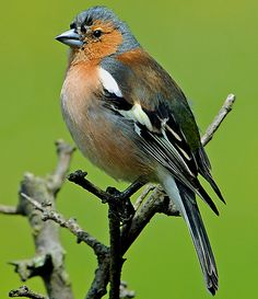 Proud Chaffinch