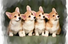 4 Corgi puppies paying attention. It's the ears and the tilt of the head.