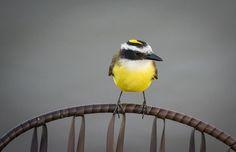 Foto bentevizinho-do-brejo (Philohydor lictor) por Hilton Filho | Wiki Aves - A Enciclopédia das Aves do Brasil