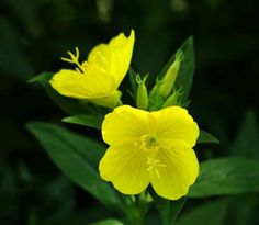"""These beautiful flowers are named """"evening"""" primrose because they bloom at night. Bright and fragrant, they attract bees, birds, and butterflies all summer long! Primrose Oil, Evening Primrose, Blossom Garden, Blossom Flower, Wild Flowers, Beautiful Flowers, Primroses, Garden Seeds, Natural Healing"""