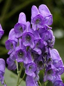 "Aconitum, also known as ""the queen of poisons"", is a genus of over 250 species of flowering plants belonging to the family Ranunculaceae. The symptons of poisoning are tingling and numbness of tongue and mouth and a sensation of ants crawling over the body, nausea and vomiting with epigastric pain, laboured breathing, pulse irregular and weak, skin cold and clammy, features bloodless, giddiness, staggering, mind remains clear."