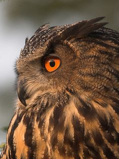 ☀Eagle Owl Close-up by BrianScott