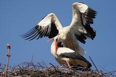 """Haikarat kevätpuuhissa ©Jouko Santala: """"Haikarat viihtyvät kotipesässä...."""""""