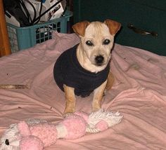 Chibi's first navy blue sweater: Just before Thanksgiving my neighbors found a small chihuahua mix puppy in the street. They could not find the owners and because of their two big dogs,