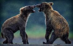 Two grizzly bear cub siblings mirror each other's stance as they prepare to play fight.