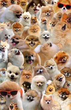 "actionjacksonlovesbbq: and here is the pomeranian collage in all of its glory. related, jack recently told me, ""you're a crazy person. a cute crazy person. but a crazy person."" Can you find me? Your where's-waldo pal, TommyPom"
