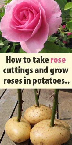 Captivating Why Rose Gardening Is So Addictive Ideas. Stupefying Why Rose Gardening Is So Addictive Ideas. Eco Garden, Garden Junk, Home Vegetable Garden, Love Garden, Garden Care, Garden Ideas, Wooden Garden, Roses In Potatoes, Organic Gardening