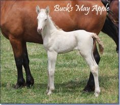SOLD - BUCK'S MAY APPLE #pend - perlino Tennessee Walking Horse filly by The Buck Starts Here x Creamy Chance. May is outstanding, can walk and is built like a brick house. She is a double agouti and may be a double black. 15/15.1 hands when grown. Foaled 05/03/2012. Horse is located in Missouri. Overseas transport can be arranged. Cheap at $4500.  http://www.holmesfarmwalkers.com/BucksMayApple.htm
