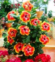 200pcs/bag Mini Hibiscus Flower Seeds Hibiscus Seed Bonsai Flower Chinese Rose Seeds MIX Colors to Choose Plant for Home Garden