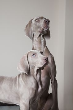 Weimaraner Puppies: Cute Pictures And Facts Puppy Pictures, Cute Pictures, Weimaraner Puppies, Dog Breeds, Cute Dogs, Pitbulls, Facts, Animals, Dog Photos