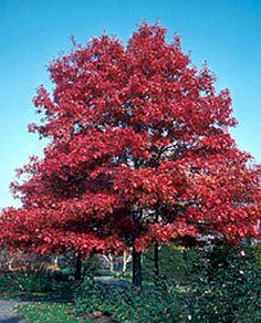 Black Walnut Tolerant Plants.  Red Oak.  Canadale Nurseries Ltd.