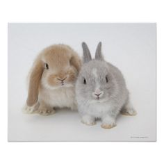 Wow how cute are these little bunny rabbits Two Netherland Dwarf and Holland Lop bunnies Posters Cute Baby Bunnies, Cute Baby Animals, Animals And Pets, Funny Animals, Cute Babies, Hunny Bunny, Holland Lop Bunnies, Dwarf Bunnies, Bunny Rabbits