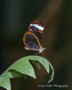 Clear-wing Butterfly. Nature photography from Photography Talk.