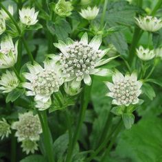 Astrance+-+Astrantia+Star+of+Billion