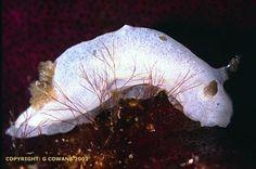The Sea Slug Forum - Aphelodoris? sp. 3