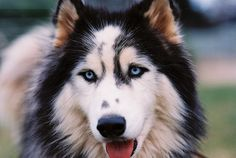 mastiff boxer mix,puggle,cocker spainel,yellow lab or great dane Husky Eyes, A Husky, Pomeranian Husky, Pomsky, Chihuahua, Alaskan Klee Kai, Before I Die, Scottish Fold, Beautiful Dogs