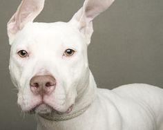 Cutie shelter dogs, dog photos, pit bulls, ears, stone, dog photography, puppi, portraits, homes