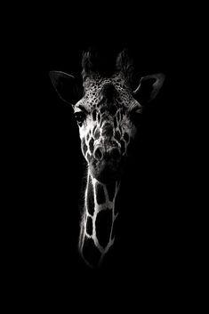 photo black white Dark Giraffe by Wouter Rikken Animals Black And White, Black And White Pictures, Animals And Pets, Cute Animals, Amazing Animals, Art Prints Online, Bild Tattoos, Animal Sketches, African Animals